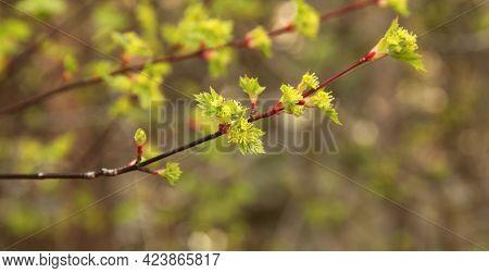 Rocky Mountain Maple (acer Glabrum Var. Douglasii) Leaves In Beartooth Mountains, Montana