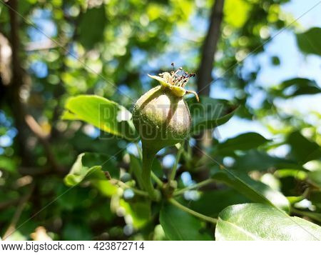 Pears Grow On A Branch In The Garden. Small Unripe Fruits In The Ripening Process.