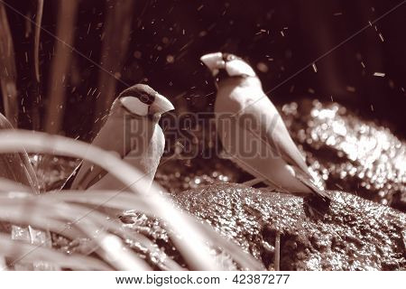 Java Sparrows bathing under waterfall