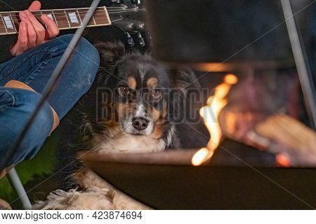A Tricolor Australian Shepherd Looks Over The Campfire, Listens To Guitar Music. Part Of A Woman She