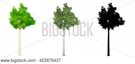 Set collection of Campher Laurel trees, painted, natural and as a black silhouette on white background. Concept or conceptual 3d illustration for nature, ecology and conservation, strength, endurance