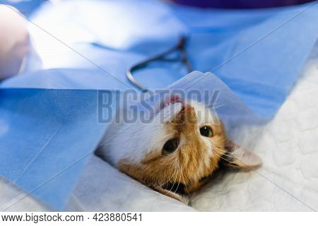 Cat On Surgical Table During Surgery Castration In Veterinary Clinic.veterinary Doctor During Cat Su