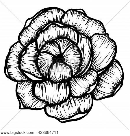 Hand Drawn Pion Flower Isolated On White. Vector Illustration In Sketch Style.