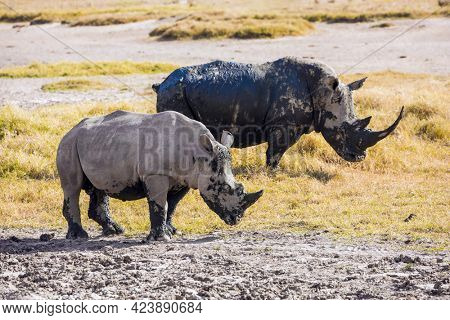 The famous African Big Five. African prairies on the shores of Lake Nakuru. Great Rift Valley. Gorgeous pair wild rhinos goes to the lake to drink