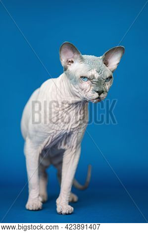 Beautiful Hairless Canadian Sphynx Cat Standing On Blue Background And Mysteriously Looking.