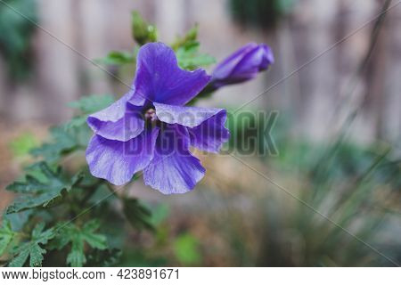 Close-up Of Purple Hibiscus Plant With Flowers Outdoor In Sunny Backyard