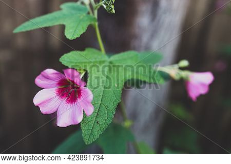 Close-up Of Pink Hibiscus Plant With Flowers Outdoor In Sunny Backyard