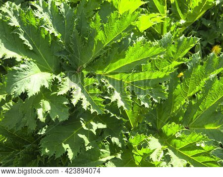 Thickets Of Poisonous Hogweed (heracleum Sosnowskyi) In The Spring