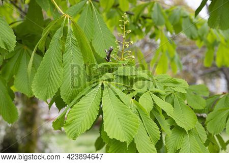 Green Chestnut Leaves In Early Spring, New Life
