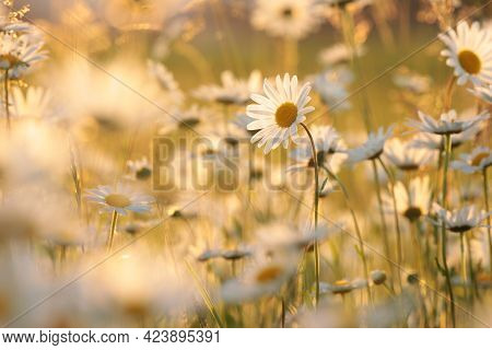 Daisies spring meadow flower Nature background flower Nature background Nature flower Nature field Nature background flower Nature flower background Nature flower sunset Nature flower Daisy sunrise flower Nature background flower Nature background flower.