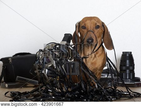 A Red-haired Dachshund Dog Is Sitting Entangled In Black Thin Video Tape, And Next To It Is An Old F