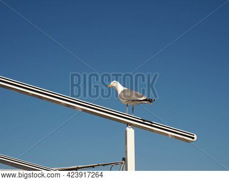 Silver Gull On Awning Frame Waiting For Breakfast, Sunny Summer Day