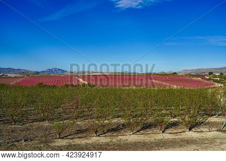 Peach Blossom In Ascoy Near Cieza. Photography Of A Blossoming Of Peach Trees In Cieza In The Murcia