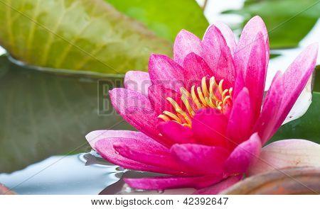 Close Up Pink Lotus Flower Blooming
