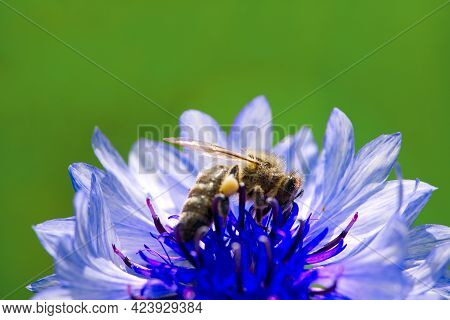 Bee Collects Pollen From A Cornflower. Blue Cornflower With Bee, Close Up On Natural Background
