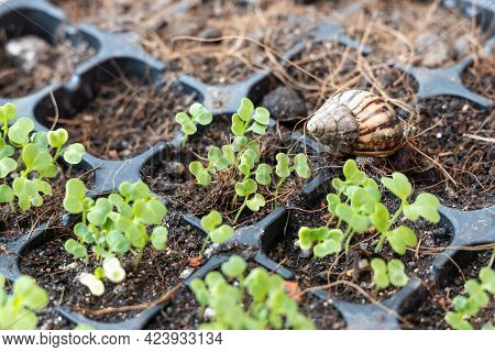 Garden Snail Is Threat To Germinated Vegetable Sprout. It Will Eat Up The Shoots.