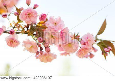 Beautiful Cherry Blossom Sakura In Spring Time On Nature Background. Botanical Garden Concept. Tende