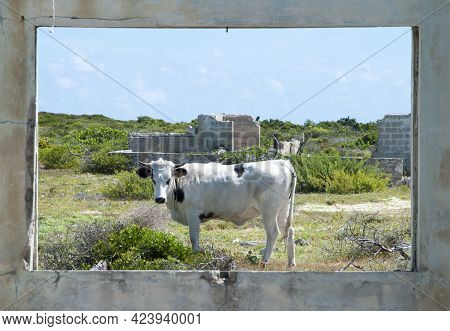 The Framed View Of A Bull Freely Roaming Around Hurricane Destroyed Houses On Grand Turk Island Beac