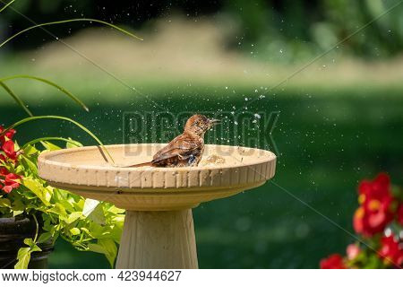 A Brown Thrasher Taking A Bath In A Bird Bath.