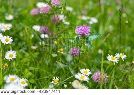 Soft Pink Clover On A Morning Sunny Meadow, Close-up