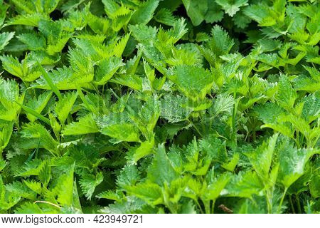 Urtica Dioica, Common Nettle, Stinging Nettle. Dense Thickets Of Nettles Close-up.