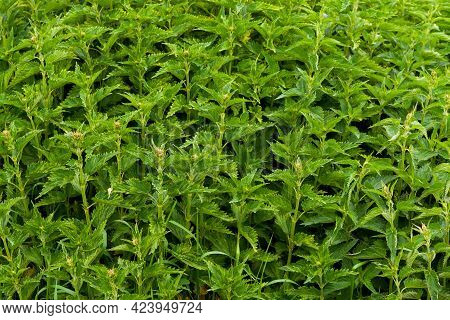 Green Background From Thickets Of Nettles. Dense Thickets Of Nettles As A Natural Background. Urtica