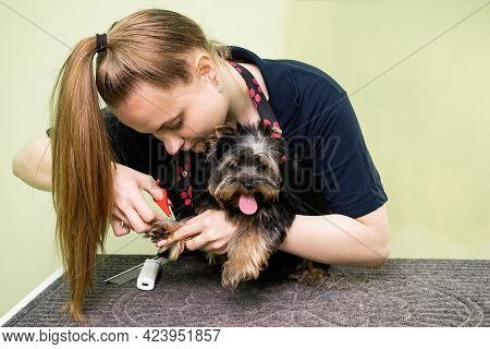 Groomer Makes Shearing Of Claws Yorkshire Terrier By Special Scissors.