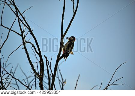 Great Spotted Woodpecker In Silhuette High Up In Tree