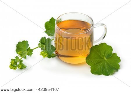 Fresh twig of Lady's mantle and a glass of tea close up isolated on white background