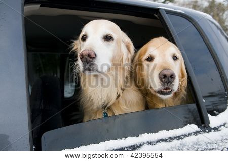 Golden Retriever Car Ride