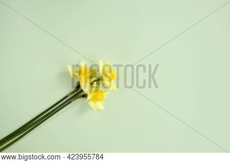 Three Fresh Yellow Daffodils On Light Green Background, Spring Flowers Narcissus. Top View. Copy Spa