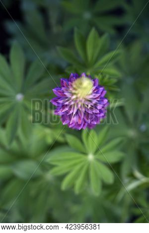 Lupin, Or Wolf Bob Lat. Lupinus Is A Genus Of Plants In The Legume Family Fabaceae. It Is Represente