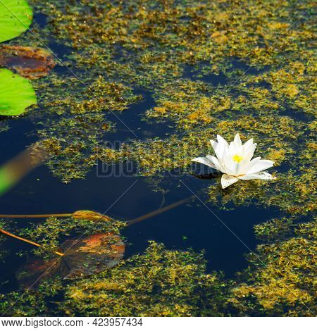 White Nenuphar Or Water Lily In The Thickets Of A Pond Or Lake. Selective Focus. Nymphaea Alba