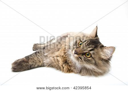 Studio Shot Of Relaxing Persian Cat on white background poster