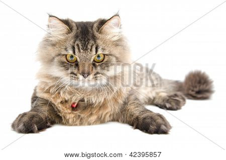 Persian Cat, Front Face