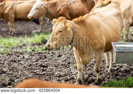 Cows On A Pasture Drink Water From A Drinking Bowl. A Barrel Of Water On Wheels. Drinking Barrel For