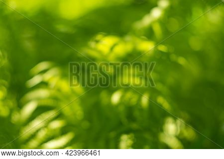 Defocused Fern Leaves In Sunlight. Beautiful Abstract Blurred Nature Background