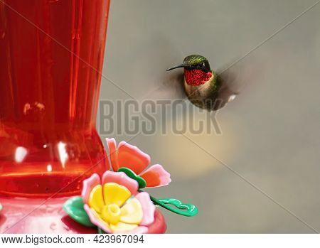 Male Ruby Throated Hummingbird Hovers Near A Nectar Feeder.