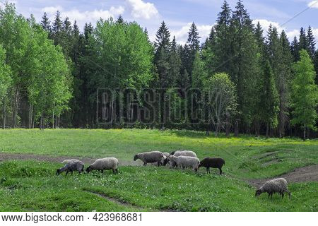 A Group Of Farm Sheep Graze In The Pasture Against The Backdrop Of The Forest. Countryside, Farm Ani