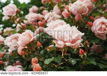 Bouquets With Pink Rose Bouquets As Background