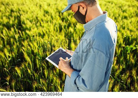 Farmer In A Black Medical Mask Is Checking The Information About Wheat Growth Progress And Predicts