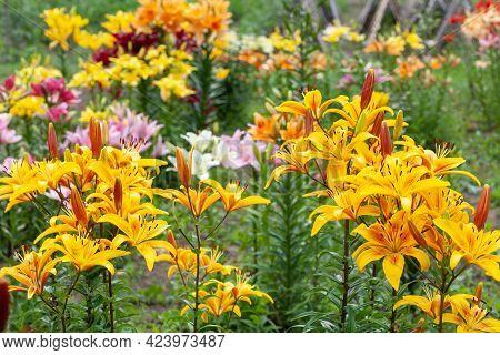 Very Many Of Yellow Lily Flowers. Hemerocallis Also Called Lemon Lily, Yellow Daylily, Hemerocallis