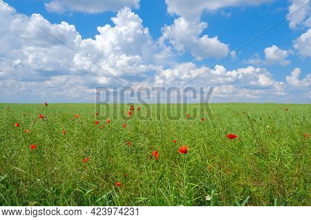 Field Of Green Unripe Rape Oilseed On A Cloudy Blue Sky Background In Summer. Unripe Young And Green