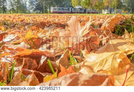Fallen Leaves Of A Maple Tree On Green Grass In An Urban Environment. Autumn Leaves, Early Fall, Ind