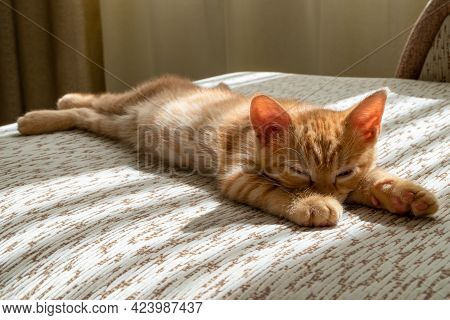 A Small Beautiful Red Tabby Kitten Falls Asleep On The Couch And Squints At The Camera. Close-up, Fr