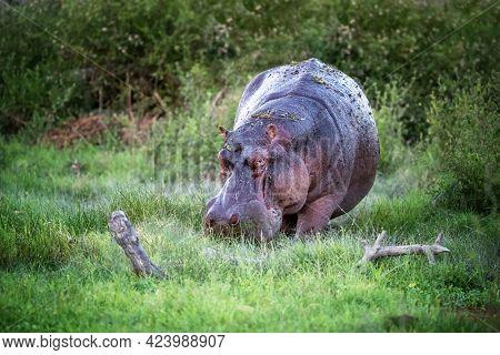 Adult hippopotamus, Hippopotamus amphibius, grazing in the marshes and lush green grass of Amboseli National Park, Kenya.