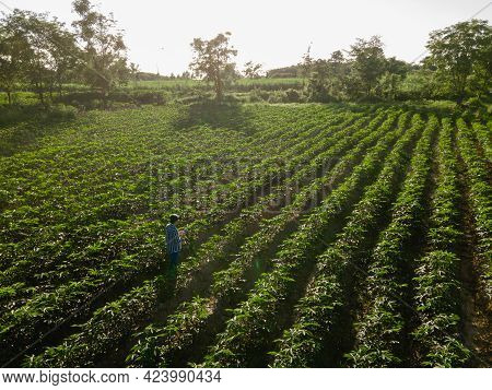 Top View Of Farmer In Row Of Cassava Tree In Field. Growing Cassava, Young Shoots Growing. The Cassa
