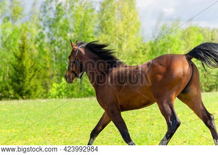Beautiful Brown Horse Galloping Across The Field And Forest.purebred Horse Galloping Across A Green