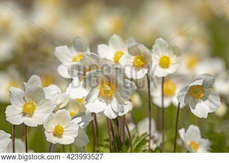 Snowdrop Anemone (anemone Sylvestris) Blooms Profusely In Estonian Nature
