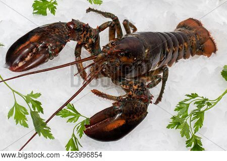 Close Up Of Fresh American Lobster On Crushed Ice With Green Decorative Parsley Leaves.